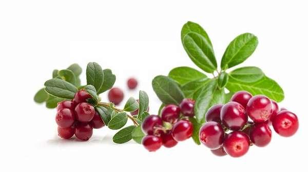 Настой из листьев или ягод этого растения является лучшим средством для вывода лишней жидкости из организма