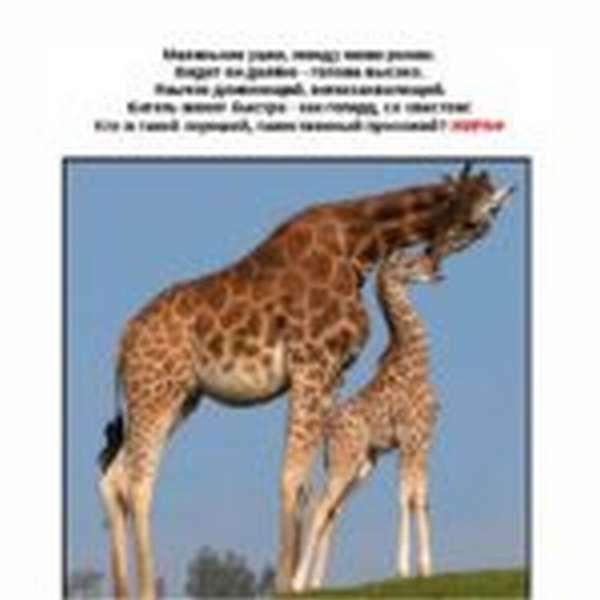 Загадка о жирафах