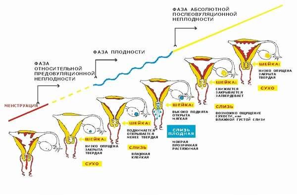 В норме менструальный цикл должен делиться на 4 фазы