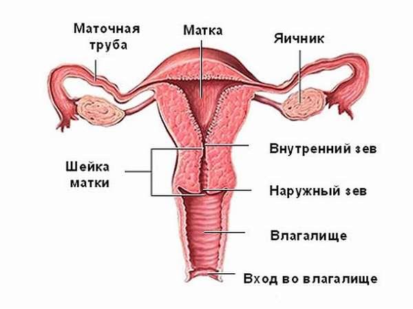 физиология и строение матки