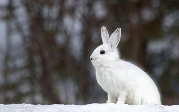 Заяц в белой шкурке