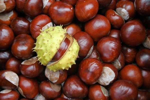 Плоды конского каштана обладают противоспалительными свойствами