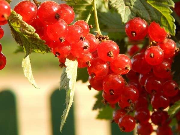 При наличии участка земли красную смородину можно легко выращивать самостоятельно