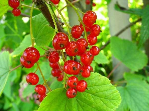 Красную смородину полезно употреблять при простуде