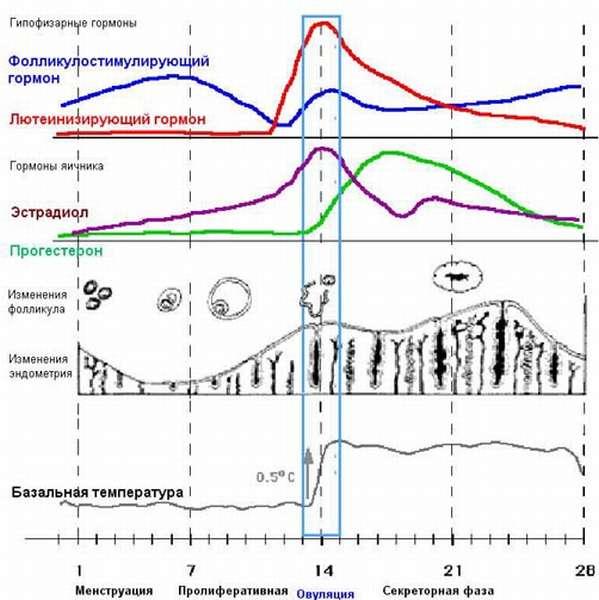 Первая половина цикла температура колеблется в пределах 36,3-36,8°, потом следует резкий подъем температуры свыше отметки 37°, этот подъем означает овуляцию – выход яйцеклетки из яичника