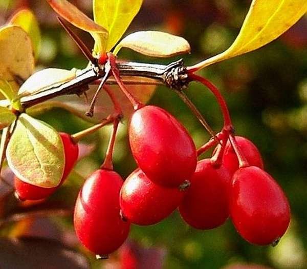Из барбариса можно сделать вкусный и полезный чай