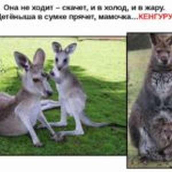 Загадка о кенгуру