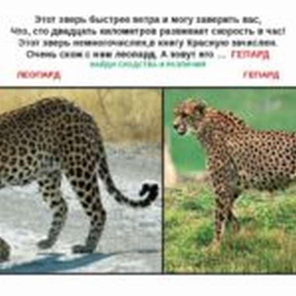 Загадка о гепарде