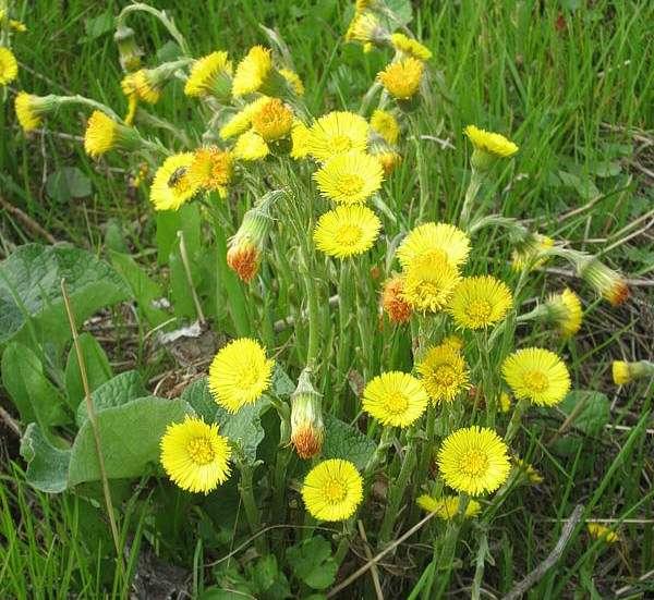 Мать-и-мачеха – всем известное растение, относится к семейству сложноцветных. Имеет красивый вид, ее золотисто-желтые цветочки появляются весной и знакомы многим