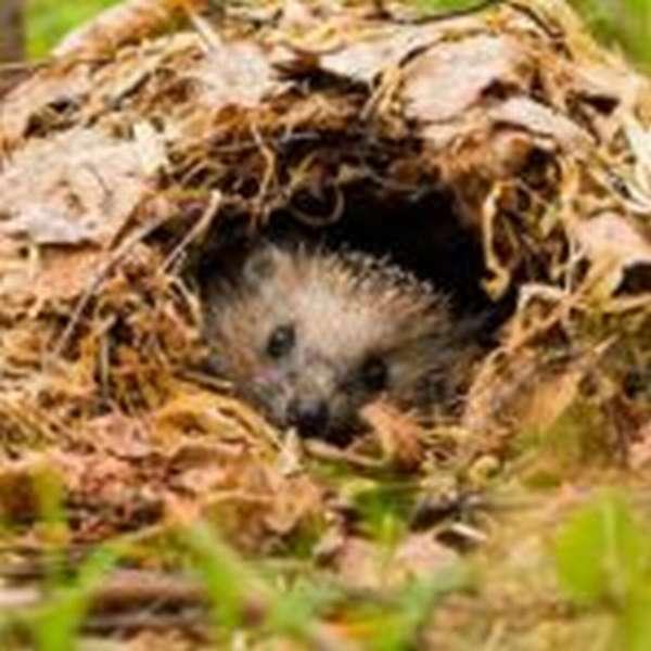 Ёж в гнезде